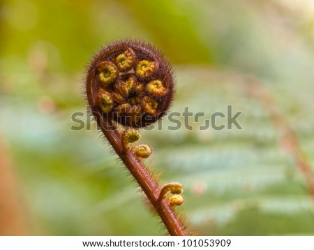 Unraveling fern frond closeup, the symbol of New Zealand - stock photo