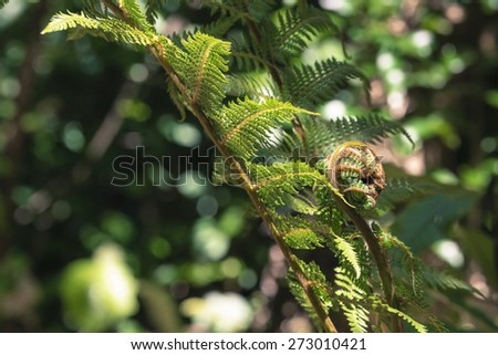 Unravelling fern frond closeup, one of New Zealand symbols. - stock photo