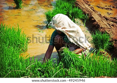 unrecognizable indian woman, planting rice photo - stock photo