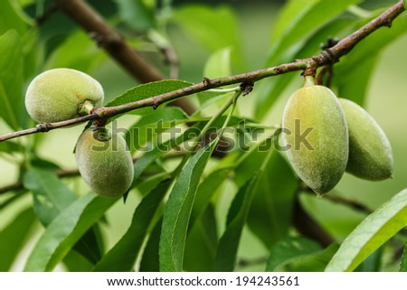 Unripe almonds on almond tree. - stock photo