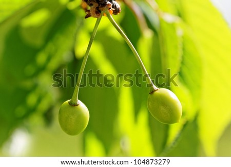 Unripe cherries are growing on the tree. - stock photo
