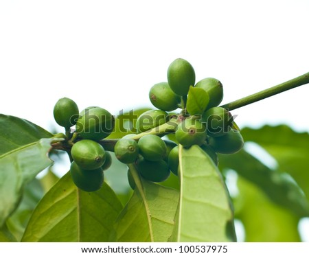 Unripe coffee beans on coffee tree. - stock photo