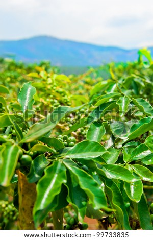 Unripe coffee beans on stem in Vietnam plantation - stock photo