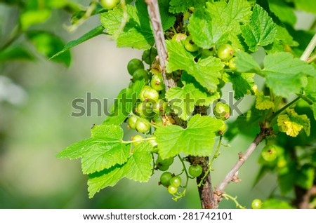 Unripe currant on a branch with a fresh green look and leafs suggesting spring fruits - stock photo