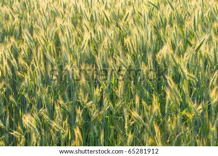 unripe ears of wheat in field, selective focus