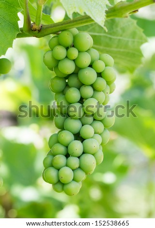 Unripe green grapes hanging in a tree - stock photo