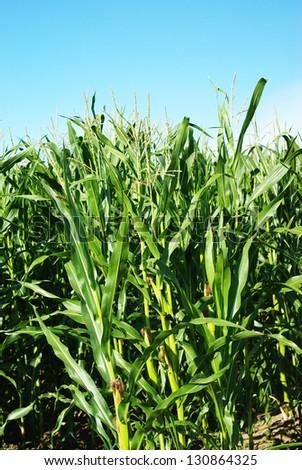unripe maize - stock photo