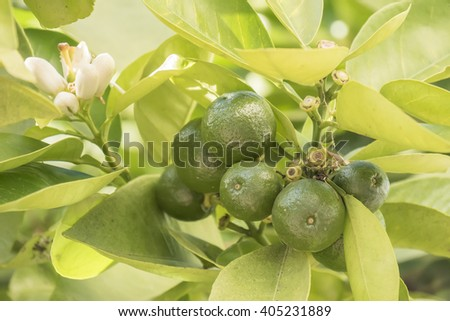 Unripe orange growing in the tree