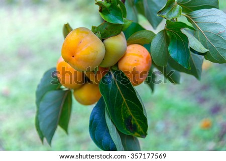 Unripe persimmon & fresh green leaves at Chiang Mai, Thailand - stock photo