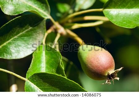 unripe small pear - stock photo