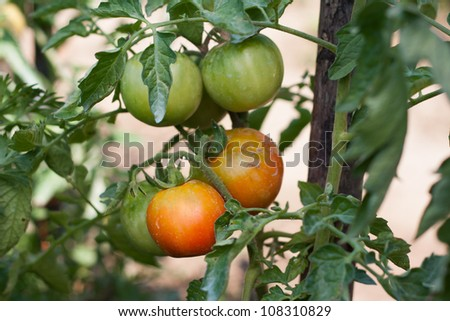Unripe tomatoes in a countryside garden - stock photo