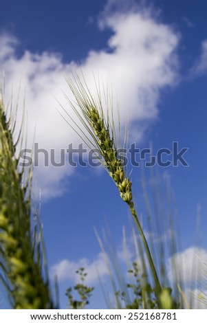 Unripe Wheat field on blue sky background  - stock photo