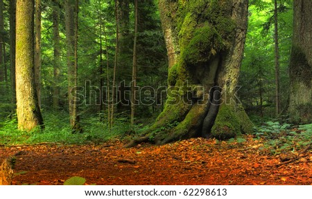 Untouched Beech Forest - stock photo