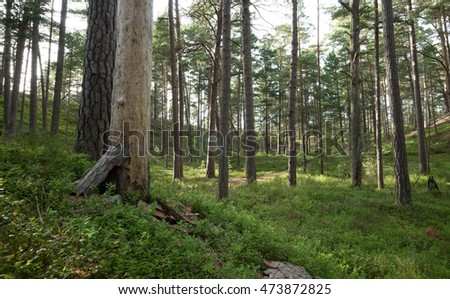 Untouched old pine forest and important habitat for many animals in a national park in sweden