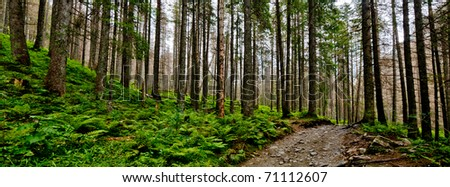 Untouched spruce forest - stock photo