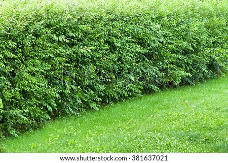 Untrimmed wonder hedge bushes at the edge of lawn after rain - copy space - stock photo