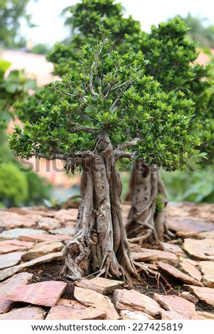 unusual beautiful bonsai tree in a park