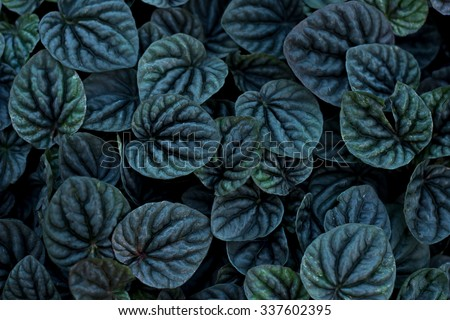 Unusual  Beautiful Dark black leaves texture for background, Emerald Ripple Peperomia - stock photo