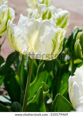 Unusual beautiful white with green tulip, macro - stock photo