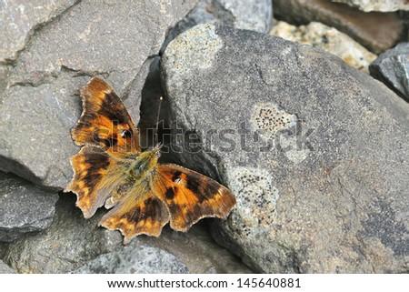 Unusual Comma butterfly Polygonia c-album - melanism - stock photo