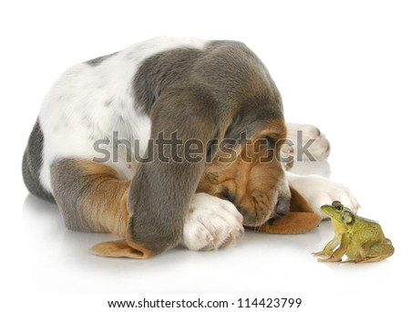 unusual friends - cute basset hound and bullfrog interacting on white background - stock photo