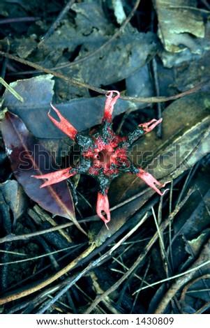 Unusual Hawaiian venus fly-trap like flower. - stock photo