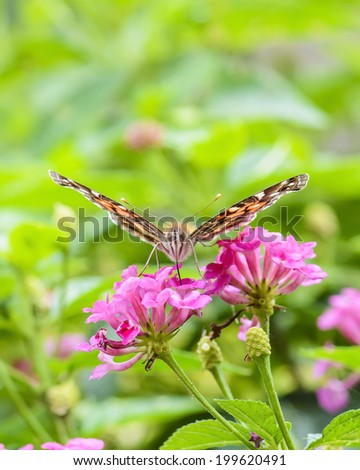 Unusual head on photography of a butterfly feeding in Costa Rica. - stock photo
