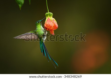 Unusual hummingbird Long-tailed Sylph Aglaiocercus kingi showing off its best colors in outstretched feathers in its natural environment, feeding from red colored flower. - stock photo