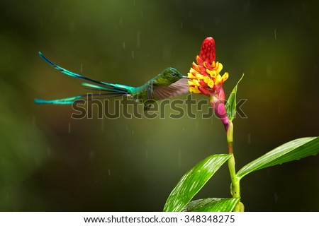 Unusual hummingbird Long-tailed Sylph Aglaiocercus kingi showing off its best colors in outstretched tail feathers in its natural environment, feeding from red colored flower. - stock photo