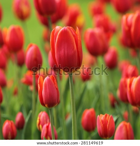 unusual tender tulip spring abstract flower background