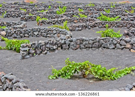 Unusual vineyard on Lanzarote, every vine has a personal small wall - stock photo