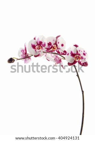 unusual white with purple flowers of orchid, isolated  - stock photo
