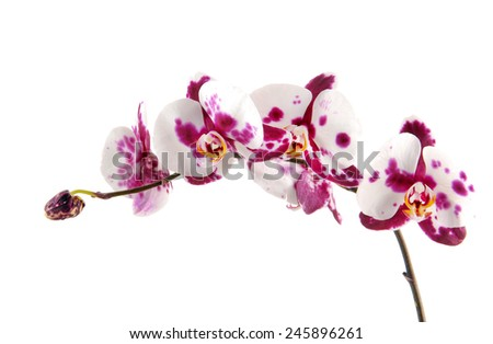 unusual white with purple flowers of orchid, phalaenopsis is isolated  - stock photo