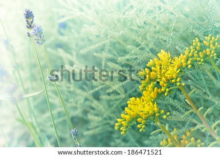 Unusual yellow flower and lavender in my garden - stock photo