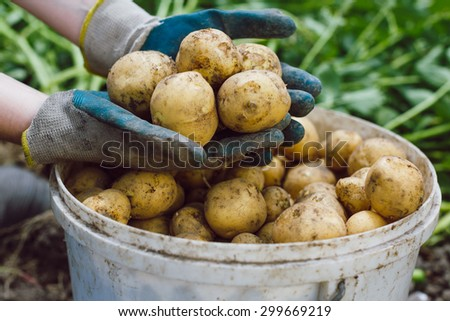 Unwashed organic fresh potatoes in farmer's hands - stock photo