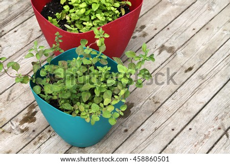 Up close of fragrant, green Greek oregano and  spearmint leaves in pots
