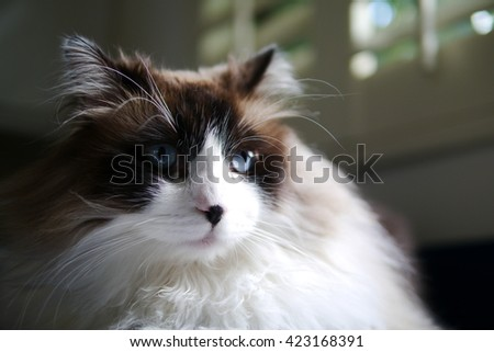 Up Close Side Angle Portrait of Bi Color Brown White Ragdoll Call with Black Nose and Beautiful Blue Eyes Looking to the Side - stock photo