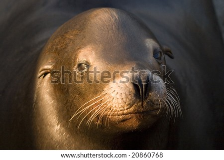 up close view of wild brown sea lion with a sad look - stock photo