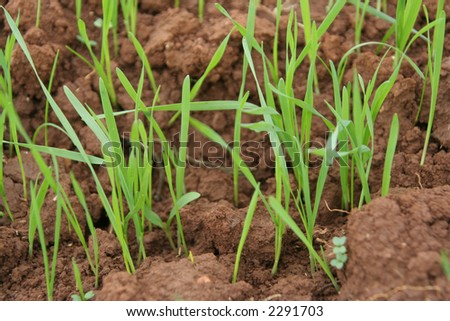 Upgrowth of green grass - stock photo