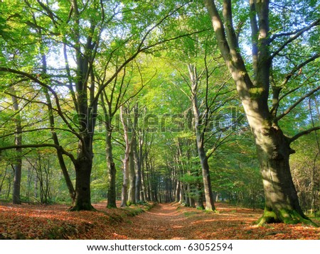 Uphill forest path between large beeches (HDR) - stock photo