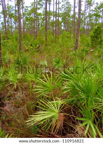 Upland Forest Pines with Saw Palmetto, Everglades National Park, Florida, USA - stock photo