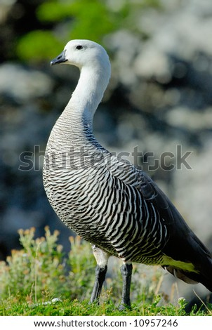 Upland Goose (Chloephaga picta) - stock photo