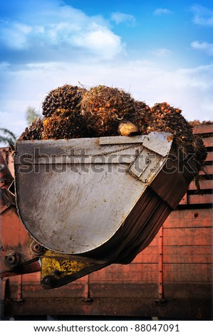 Uploading palm Oil fruits into a truck against blue sky. - stock photo