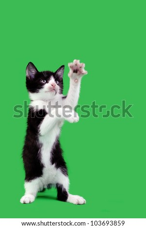 Upright Domestic Cat Catching Isolated on Green Background - stock photo