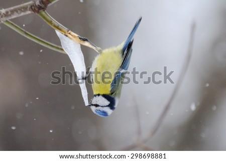 Upside dawn Blue Tit (Parus caeruleus) on spring icecreame of maple sap icicle - stock photo