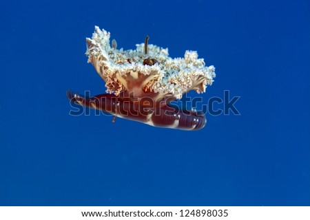 Upside-down jellyfish in the Red Sea - stock photo