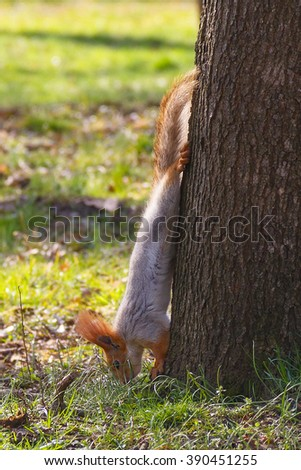upside down squirrel in the spring park - stock photo