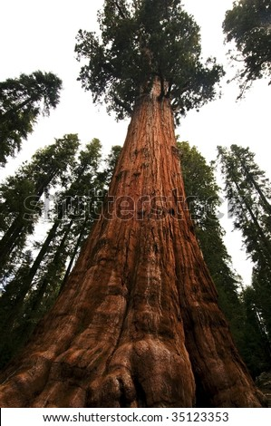 upward angle of powerful Redwood tree in Sequoia National Forest, CA - stock photo