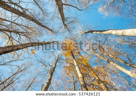 Upward perspective view of tall beech trees with colorful yellow leaves on a blue sky background