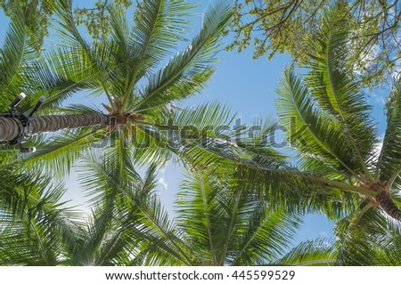 Upward view a Hawaiian Palm Trees in bright sunlight and trade winds.